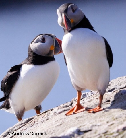 puffin-image